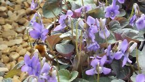 Viola labradorica - 9cm pots - comes back every year