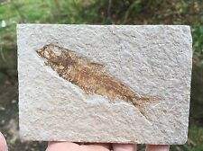 Fossil fish Knightia from the green river formation USA Eocene
