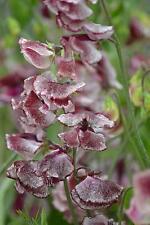 FLOWER SWEET PEA SPENCER WILTSHIRE RIPPLE 50 FINEST SEEDS