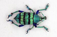Curculionidae/Eupholus Schoenherri (MorF) - Misool Island, Indonesia