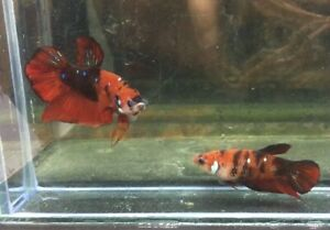 Live fish betta  Redgalaxy male and femal ready to bree beautiful color, Limited