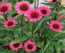 Echinacea Purpurea Seeds - FATAL ATTRACTION - Perennial Coneflower - 15 Seeds