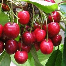 Cherry Lapins Cherokee Cordon 8L Pot Delicious Baking Cooking Fruit Plant