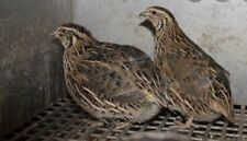 Quils Hatching Eggs( Jumbo)