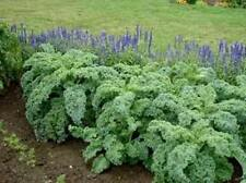 Kale Dwarf Blue 200 Vegetable Seeds ( Brassica oleracea ) NOT TO WA