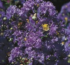 Purple Crape Myrtle crepe tree shrub seeds - 60+ - Lagerstroemia - combine ship