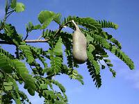 5 Semillas  Tamarindo - TAMARINDUS INDICA - Fruta  Medicinal comestible - fruits