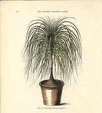 Stampa antica FIORI BEAUCARNEA RECURVATA Pianta mangiafumo 1896 Antique print