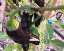 Pasilla Bajio Chilli - A Mild Heat & Slightly Sweet Flavoured Pepper - 10 Seeds