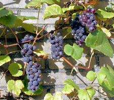 Grape Vine Soft Fruit Climbing Plant Boskoop Glory Vitis Vinifera 2L Pot Edible