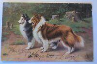 Hund, Collie,  1908 ♥ (34708)
