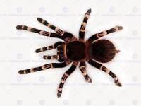 BEAUTIFUL BLUE TARANTULA GLOSSY POSTER PICTURE PHOTO PRINT spider arachnid 2096