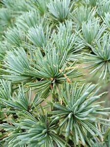 Wild Harvest Fresh Organic White Pine Needle for Tea and Extract SURAMIN 60g