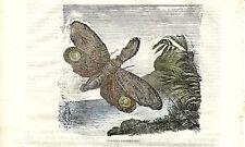 Stampa antica FARFALLA Fulgora lanternaria insetti 1840 Old antique print