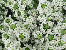 Aliso Tapis Neige Blanco Alyssum maritimum 1g 1.000 semillas seeds Lobularia
