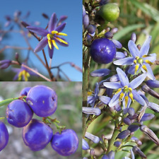 PAROO LILY / BLUE FLAX (dianella caerulea) SEEDS 'Bush Tucker Plant'