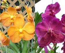 VANDA Crownfox Yellow Sapphire x Bitzs Heart Throb orchid plant in hanging pot