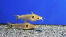 New listing 3 Eclipse Catfish/ Sun Catfish Not A pleco.