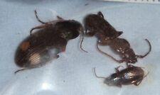Carabidae 3 Carabids from India #34 Carabid Carabus Beetle Insect Calosoma