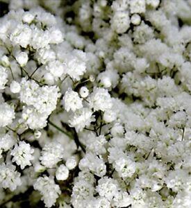 Schleierkraut weiß gefüllt mehrjährig Höhe 90 cm Samen