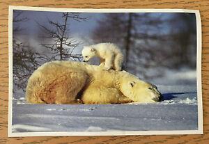 "Polar Bear Postcard Cub WTTW Chicago 11 Promo Nature Winter 4"" x 6"" Landscape"