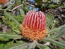 DWARF Firewood Banksia (Banksia menziesii dwarf) -  10 Seeds