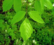 25 Graines Acer Negundo - Érable Négondo (Box Elder Maple) tree seeds