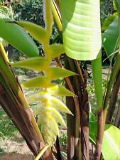 HELICONIA Xanthovillosa Shogun LIVE TROPICAL RHIZOME EXOTIC PLANT
