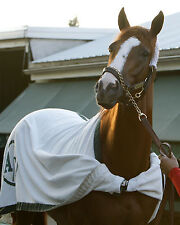 8x10  color photo - headshot of California Chrome