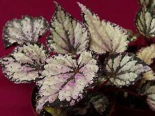 "begonia plant thor 4"" rex topf"