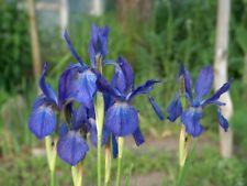 Iris cattail (Iris typhifolia) 5 seeds