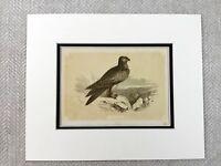 1853 Antico Uccello Stampa Aquilone Uccelli Di Preda Originale Vittoriano Art