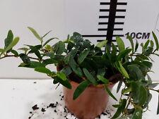 Ficus Panama LIve Tropical Vivarium Terrarium Plant