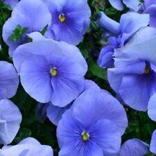 Blue Pansy Seeds, Blue Viola Seeds, Blue Pansies, Heirloom Non-Gmo Seeds, 50ct