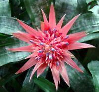 "Aechmea Primera Pink Vase Live Plant Indoor Houseplant 6"" Pot  Bromeliad"