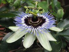 20 Graines de Passiflora caerulea Passiflore bleue, Maracuja Fruit de la Passion