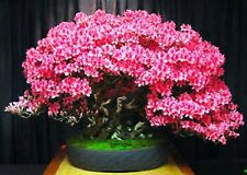 BONSAI JUDAS TREE SEEDS CERCIS SILIQUESTRUM SEED 10 SEED PACK