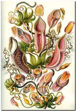 """ERNST HAECKEL CANVAS PRINT Art Nouveau Pitcher plant 24""""X 18"""" Nepenthaceae"""