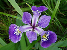 Iris versicolour bare root marginal pond plant.