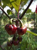 Bode Roxa Chili aus Brasilien - 10+ Samen - Saatgut - Gemüsesamen