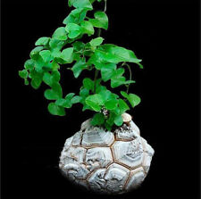 3 pcs Dioscorea Elephantipes Seeds Caudex Succulent Plant Rare Caudex