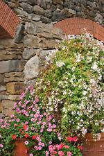 4 Mixed Climbing Jasmine Plants, Beautiful Selection Of Jasminum For Any Garden