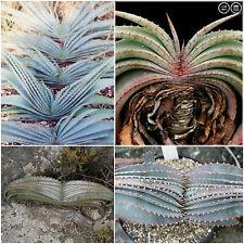 10 semi di aloe suprafoliata , piante succulente, piante grasse