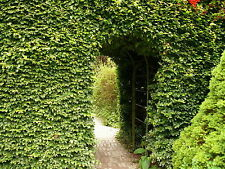 100 Green Beech Hedging Plants, Fagus Sylvatica Trees, 30-50cm,Copper in Winter
