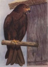 INDIAN BIRDS. The Common Pariah Kite 1943 old vintage print picture