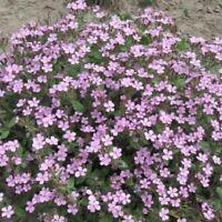 Saponaria ocymoides - Soapwort - 500 Seeds