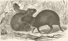 RODENTS. The common Aguti 1894 old antique vintage print picture