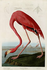 American Flamingo Audubon Vintage Giclee Canvas Print 27x40