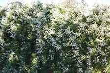 Fallopia Baldschuanica - Russian Vine - Fast Growing Garden Climbing Plant