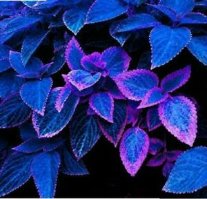 Japanese Bonsai Blue Coleus Plant Foliage Dragon Beautiful Flower 100 Seeds